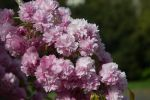 Flowers at Hyde Park by ammullan