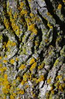 lichens on tree D 6.25.11 by serealis