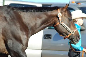 Seal Brown American Quarter Horse 2 by xxtgxxstock