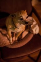 The Lonely Chihuahua by servilonus
