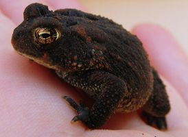 American Toad by PaganFireSnake