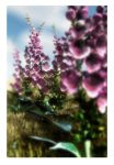 Foxgloves by struckdumb