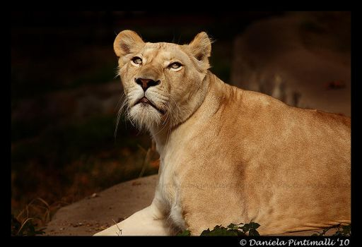 Lioness Portrait II by TVD-Photography
