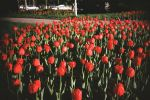 Red Tulips by nockii