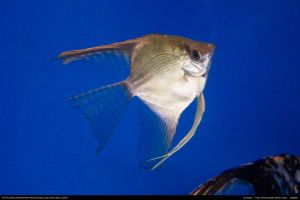 Fish Stock 0001 by phantompanther-stock