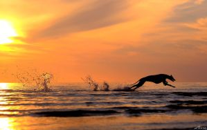 Greyhound running in sunset by laura75325