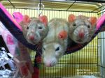 3 Little Rats by Lord-Lingo