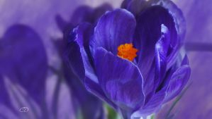CROCUS by BELLESYMPHORINE