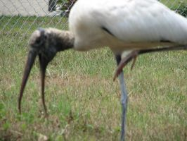 Wood Stork1 by Polly-Stock