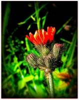 Orange Hawkseed Blossoming by surrealistic-gloom