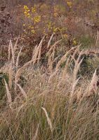 Pampa grass and yellow leaves 2 by yuushi01