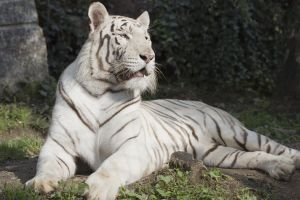 A white Bengal tiger by princi83