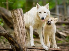 Arctic Wolves by spike83