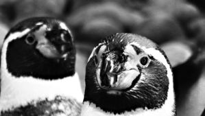 Humboldt Penguin by graphic-rusty