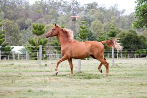 Dn wb chestnut side view trot by Chunga-Stock