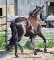 Black warlander trot and turn away by equustock
