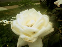 White Rose by POETRYTHROUGHLENS