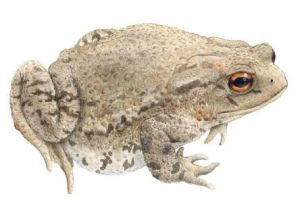 Female common toad, Bufo bufo by kvh