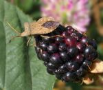 On a blackberry fruit by starykocur