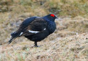Don't you love being wet - Black Grouse by Jamie-MacArthur
