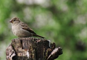 Sparrow by Winstein
