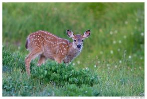 Black-tailed Deer Fawn by Swordtemper
