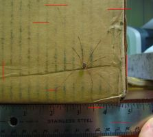 Crazy Long Legs with a ruler by Treeclimber-Stock