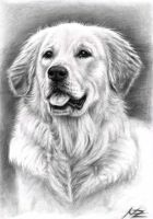 Golden Retriever Spence by ArtsandDogs