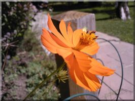 Lucky Orange Flower by tuti-fruti-00