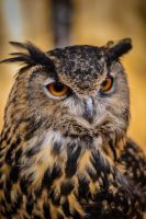 Great Horned Owl 02 by taliesin86001