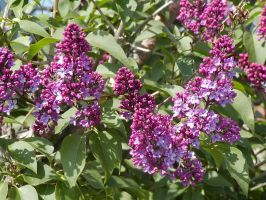 Spring Dawns Lilac by Deaconess