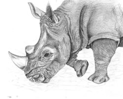 Rhino Drawing by carriephlyons