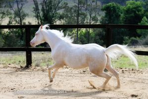 Kr Arabian canter side view by Chunga-Stock