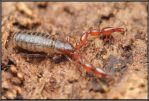 Pseudoscorpion by Dark-Raptor