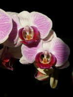 moth orchid 2 by Von-Chan