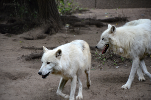 Two wolves by PolfieDary