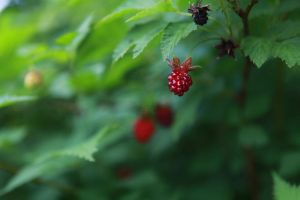 little red wild-berry by vivsters