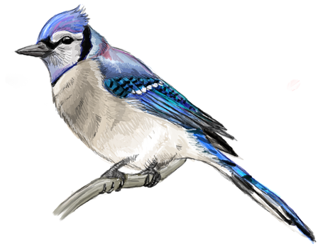 Bluejay by Tianithen