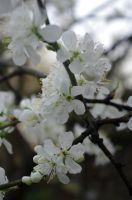 Blossoms II by LucyLostInWonderland