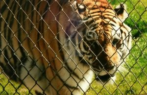 salt, the royal Bengal tiger by Paige-Gale9507