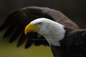Bald eagle by Jonboy2312