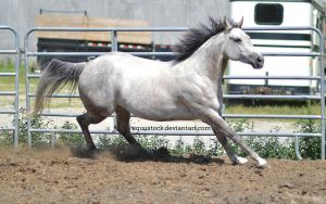 Grey quarter horse canter and turn by equustock