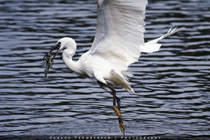 Little Egret catching a fish by Solrac1993