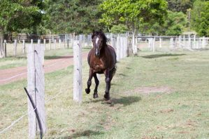 Dn Black pony gallop front view by Chunga-Stock