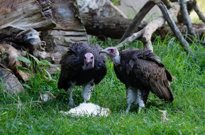 South African Hooded Vulture 06 by dkbarto