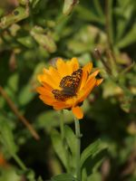 Butterfly and Calendula Stock 05 by botanystock