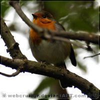 European Robin by webcruiser