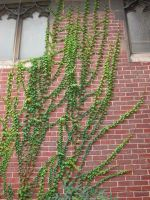 Ivy Covered Wall Stock by HauntingVisionsStock