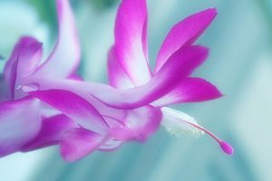 pink cactus flower II by hv1234