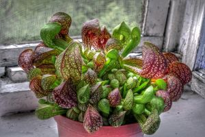 Carnivorous Plant by Graphirus